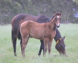 Dick Turpin-Cottage Rose filly