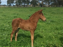 My Admiration - Red Pluton Filly