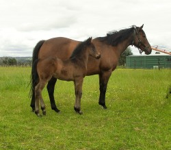 Your Song - True Charm filly