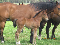 My Admiration - Beersheba Belle filly