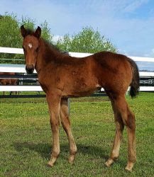 All American - Husslew filly (click to enlarge)
