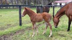 Ouqba - Caribbean Lady colt (click to enlarge)