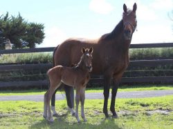 All American - Spurred In Flight filly (click to enlarge)