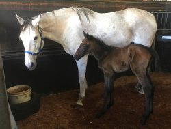 All American - Daughters Demand colt (click to enlarge)