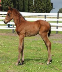 All American - Elle Choisit filly (click to enlarge)