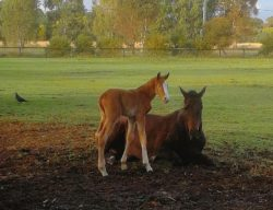 Headwater - Perfect Kiss colt (click to enlarge)