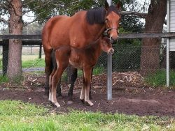 Natural Blitz - Walkingintheair colt (click to enlarge)
