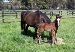 Ouqba - Exceeding Fortune colt (click to enlarge)