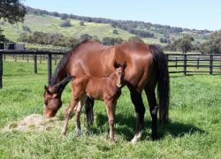 Ouqba - Mrs Gray colt (click to enlarge)