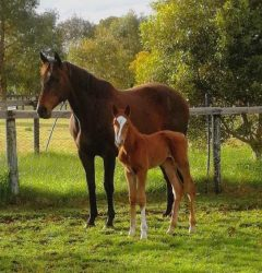 Safeguard - The Auld Yin colt (click to enlarge)