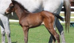 All American - Buchanan Girl filly